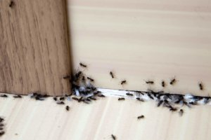 Get rid of Ants Immediately to enter the House-8 Easy Tips